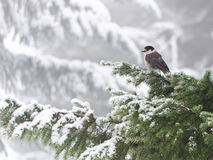 jay δέντρο ληστών κλαδιών Στοκ φωτογραφίες με δικαίωμα ελεύθερης χρήσης
