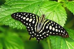 jay πεταλούδων που παρακολουθείται Στοκ Εικόνες