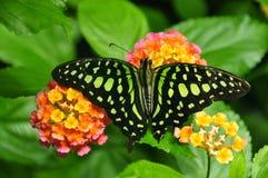 jay πεταλούδων που παρακο&l Στοκ Φωτογραφίες