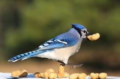голубой jay Стоковое Изображение
