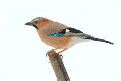 Jay Royalty Free Stock Images