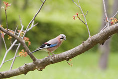 The jay Royalty Free Stock Image