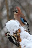Jay And Woodpecker Royalty Free Stock Images