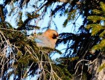 Jay auf einem Tannenbaum Lizenzfreies Stockbild