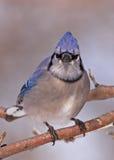 Jay azul Imágenes de archivo libres de regalías