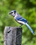 Jay azul Imagenes de archivo