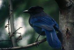 Jay azul Fotos de archivo