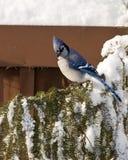Jay azul Fotografia de Stock Royalty Free
