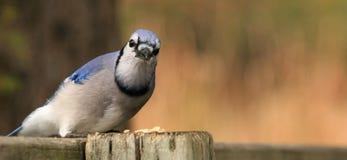Jay azul com sementes foto de stock