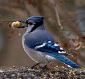 Jay azul con el cacahuete Fotos de archivo