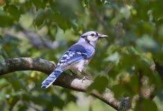 Jay azul (cristata do Cyanocitta). Imagem de Stock