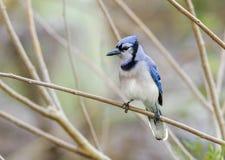 Jay azul (cristata do Cyanocitta) Fotografia de Stock Royalty Free