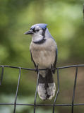 Jay azul, cristata do Cyanocitta Fotos de Stock Royalty Free