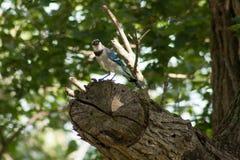 Jay azul curioso fotografia de stock