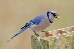 Jay azul (cyanocitta del corvid) imagen de archivo