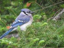 Jay azul en árbol Foto de archivo