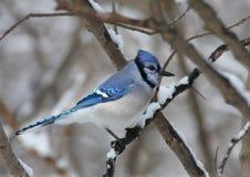 Jay azul en invierno Imagen de archivo libre de regalías