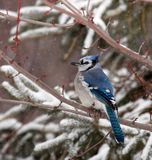 Jay azul en invierno Imagenes de archivo