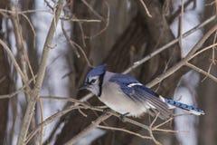 Jay azul en invierno Fotografía de archivo libre de regalías