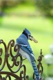 Jay azul en la puerta Imagen de archivo