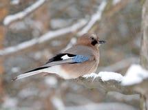 Jay azul en la ramificación de la nieve Imagen de archivo libre de regalías