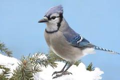 Jay azul en nieve Foto de archivo libre de regalías