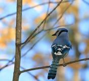 Jay azul en otoño Imágenes de archivo libres de regalías