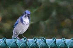 Jay azul en una cerca Imágenes de archivo libres de regalías