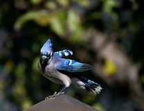 Jay azul en una chimenea Imagen de archivo