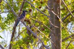 Jay azul na árvore Imagens de Stock