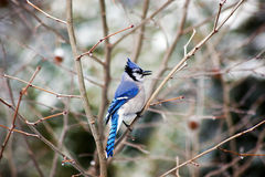 Jay azul na árvore no inverno Imagem de Stock