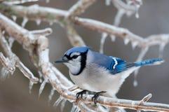 Jay azul no gelo cobriu filiais Fotos de Stock