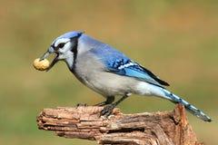 Jay azul que come los cacahuetes Foto de archivo libre de regalías
