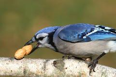 Jay azul que come los cacahuetes Fotografía de archivo