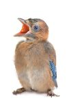 Jay Royalty Free Stock Photo