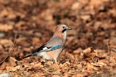 Jay on a beautiful autumn day Stock Image