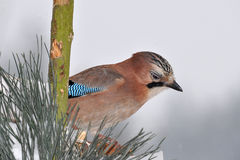 Jay bird Stock Photo