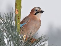 Jay bird Royalty Free Stock Images