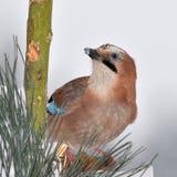 Jay bird Royalty Free Stock Images