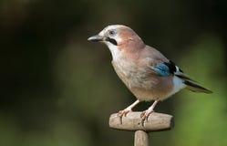 Jay bird. On a shovel Royalty Free Stock Photo