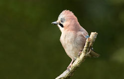 Jay bird. In a angry pose on a twig Royalty Free Stock Photos