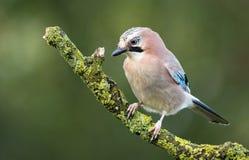 Jay bird. On a branch Royalty Free Stock Photos