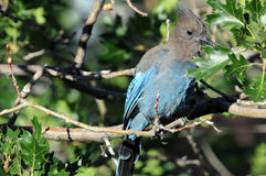 Jay bird. Colorful jay bird on tree branch green leaves royalty free stock image