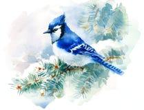 Jay Bird blu sul dipinto a mano verde dell'illustrazione della neve di inverno dell'acquerello del ramo del pino isolato su fondo Immagine Stock
