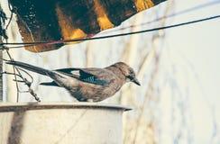 Jay bird in the city Stock Image