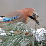 Jay bird close up Royalty Free Stock Photo