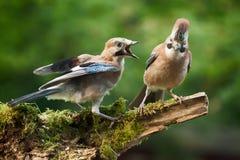 Jay bird demanding food form parent Royalty Free Stock Images