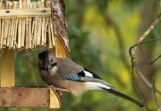 Jay at a bird feeder Royalty Free Stock Photo