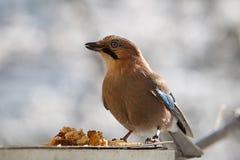 Jay bird feeds. Jay bird eats food of human assistance Royalty Free Stock Photo