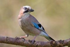 Jay bird ( Garrulus glandarius ) Royalty Free Stock Photos